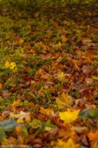 Bilder Fargerik høstblader Ørjan Liland