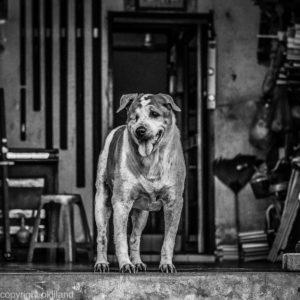 Bilde svart hvitt Hund Thailand Ørjan Liland